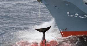 1 εκατ. πρόστιμο σε φαλαινοθηρική μετά από βίντεο ντοκουμέντο (video)