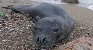 Μία αρσενική φώκια στην παραλία Αλίμου![βίντεο]