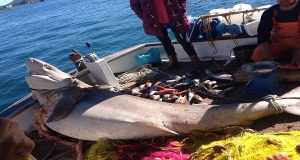 Kαρχαρίας 2,5 μέτρων αλιεύθηκε σήμερα στην Ύδρα!