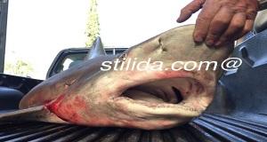 Καρχαρίας 2,5 μέτρων στα χέρια ψαρά από τη Στυλίδα[pics]
