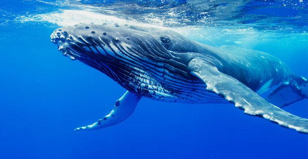 Μεγάπτερες φάλαινες επιδεικνύουν αλτρουιστική συμπεριφορά (video)