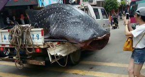 Ψαράς περιέφερε σπάνιο καρχαρία-φάλαινα σε… καρότσα![βίντεο]