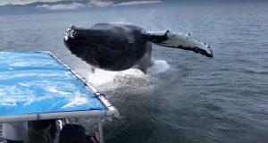 Απίστευτο βίντεο: Φάλαινα βγαίνει από την θάλασσα ακριβώς δίπλα σε βάρκα με τουρίστες